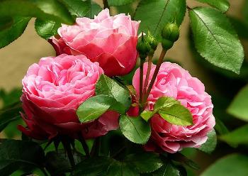 Damaszener Rosen in voller Blüte